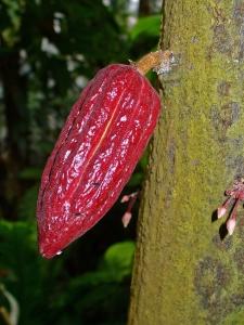 Fruto e flores de cacau. Foto de H. Zell/Wikicommons